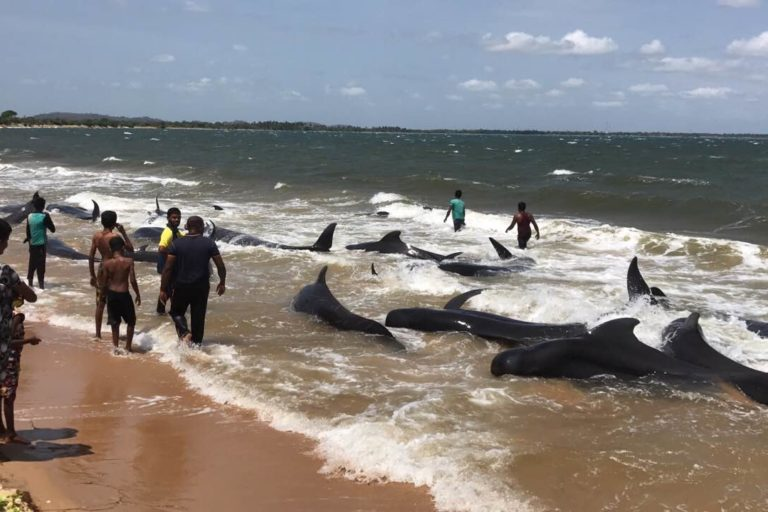 In 2017, 20 pilot whales were found stranded on the eastern coast of Sri Lanka and rescued by navy personnel. Image courtesy of the Sri Lanka Navy.