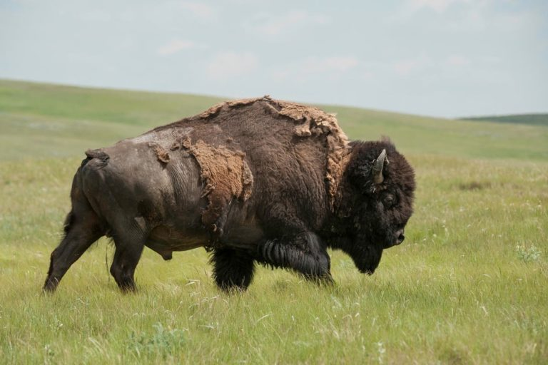 An American bison at Turtle Mount Buffalo Ranch, Fort Peck Indian Reservation. Image by Thomas Lee/WWF-US.