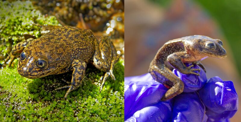 A healthy Loa water frog in 2015 (left) compared to a malnourished Loa water frog (right). The malnourished frogs were taken from their drying stream in northern Chili to the National Zoo of Chile. Left photo by Claudio Soto Azat. Right photo by the Ministry of Housing and Urbanism of Chile.