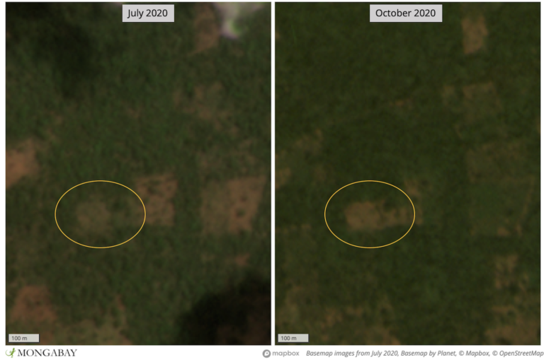 Satellite imagery shows recent deforestation in the Foret de Bafata protected area in Casamance, Senegal.