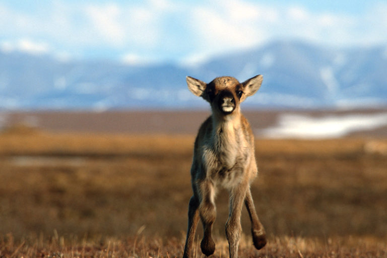 Banner image of a caribou calf in the archive study area by Karsten Heuer.
