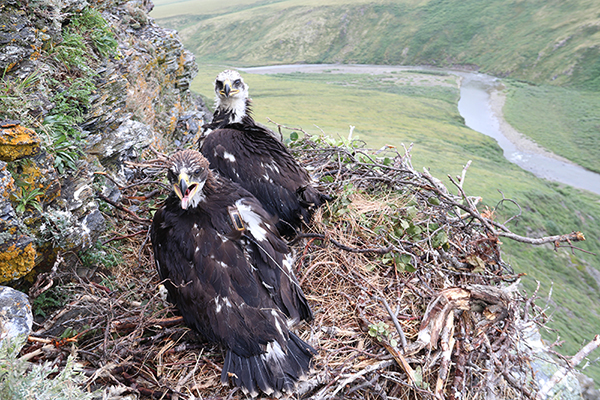 Two young golden eagles, one with a transmitter, nest on the Seward Peninsula in Alaska. Image courtesy of Stephen Lewis.