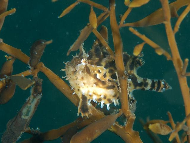 Sargassum anglerfish