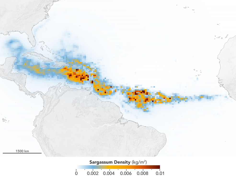 Satellite image of The Great Atlantic Sargassum Belt in July 2018. Image courtesy NASA/Earth Observatory. Data provided by Mengqiu Wang and Chuanmin Hu, USF College of Marine Science
