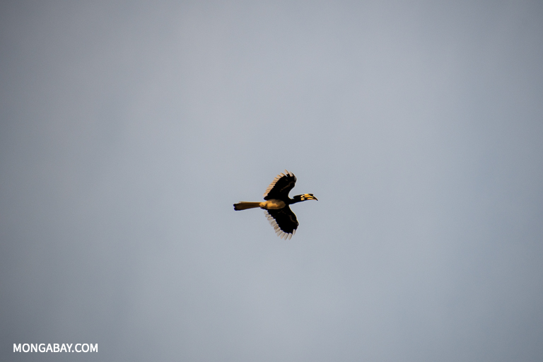 A helmeted hornbill flies over the Kinabatangan River in Sabah. Image by John C. Cannon/Mongabay.