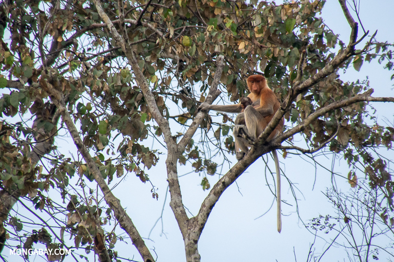 Proboscis monkeys are a common sight along the Kinabatangan River in Sabah. Image by John C. Cannon/Mongabay.