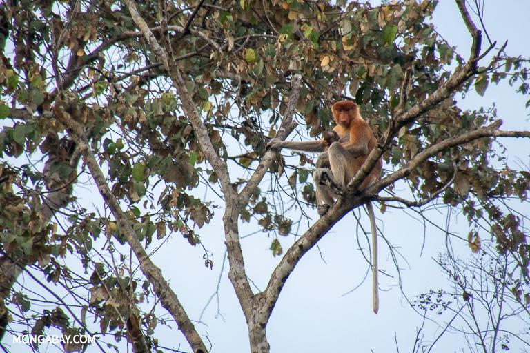 Proboscis monkeys are a common sight along the Kinabatangan River in Sabah. Image by John C. Cannon/Mongabay.