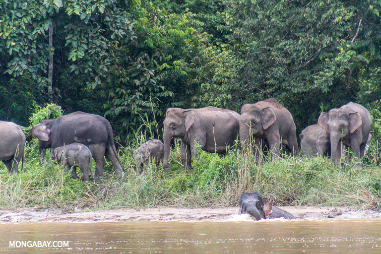 A herd of Bornean elephants in Sabah. Image by John C. Cannon/Mongabay.