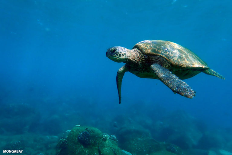 Green sea turtle in the Pacific. Photo by Rhett A. Butler