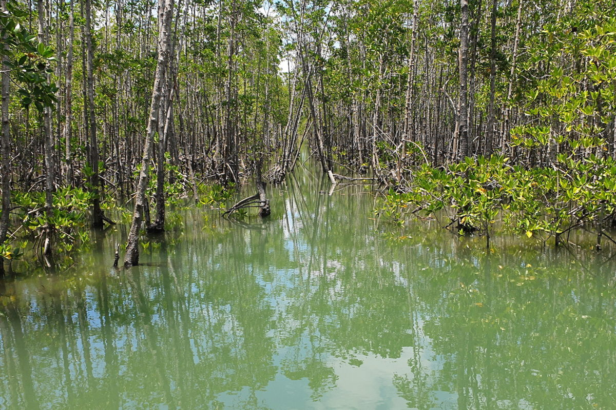 kalibo-mangrove