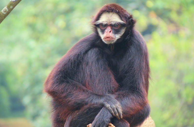 White-cheeked spider monkeys (Ateles marginatus) are listed as endangered and their known range includes Apyterewa Indigenous Territory, according to the IUCN. image by Miguelrangeljr via Wikimedia Commons (CC 3.0).