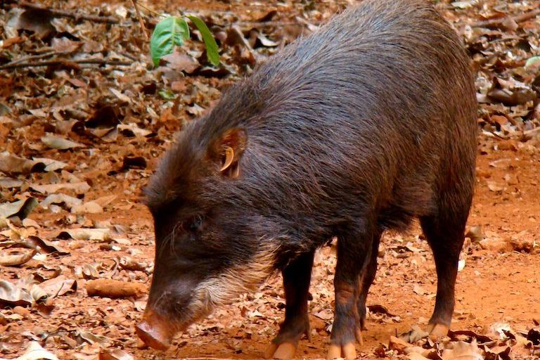 White-lipped peccaries (Tayassu pecari) are found in Apyterewa Indigenous Territory and are listed as Vulnerable by the IUCN. Image by Ana Cotta via Wikimedia Commons (CC 2.0)