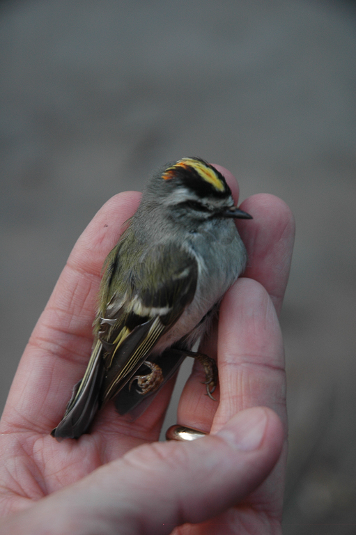 A golden-crowned kinglet that died after hitting a glass window. Image courtesy of Tim Beatley.