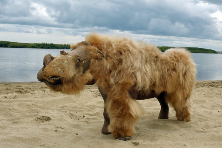 Recreation of a woolly rhino made from a preserved baby woolly rhino discovered in Siberia. Photo credit: Albert Protopopov