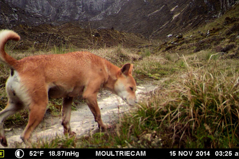 A trail camera captures a rare shot of a New Guinea singing dog in 2016. These pictures were the first solid evidence that the dogs were present around Grasberg mine. Photo credit: James McIntyre.
