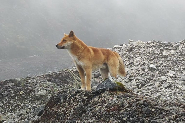 The New Guinea singing dog, once thought extinct, is alive in the wild