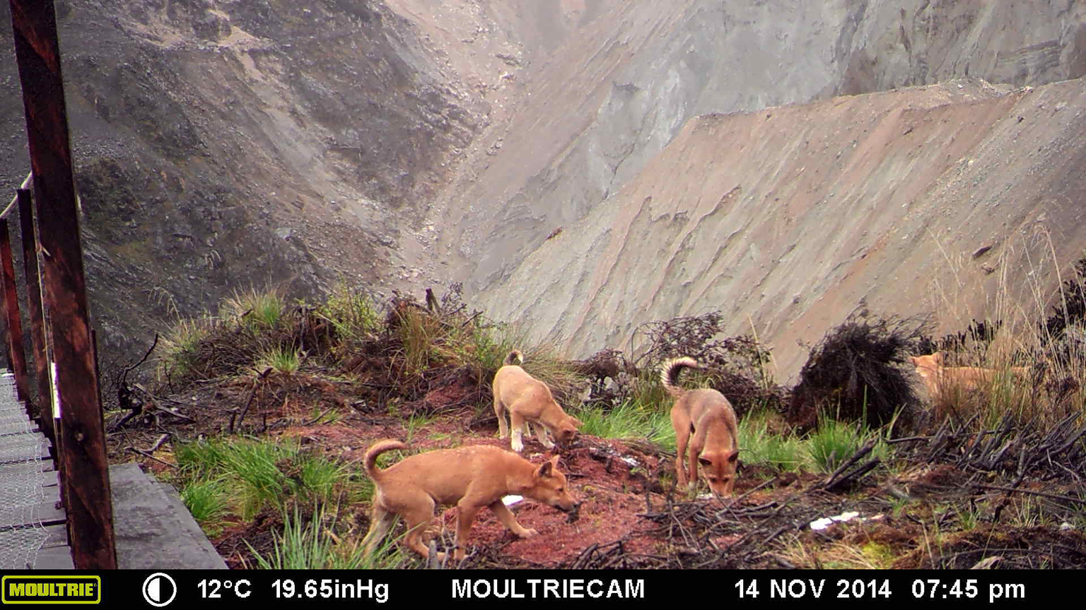 The only known wild population of New Guinea singing dogs lives at 4,300 meters (14,000 feet) near Grasberg mine on the Indonesian side of New Guinea. Photo credit: James McIntyre