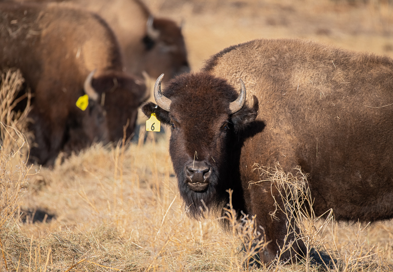 Hunting diminished bison numbers to around 1,000 by the late 1800s. Image © Clay Bolt/WWF.