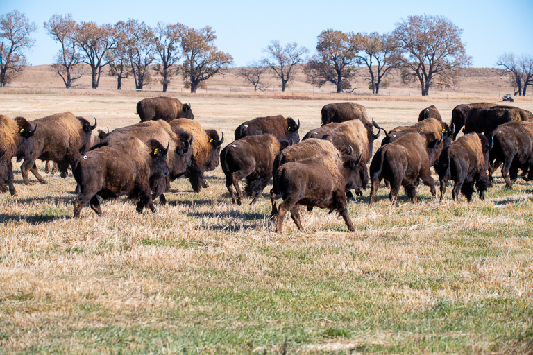 The new herd, with animals from Badlands and Theodore Roosevelt national parks, lopes onto their new home on Rosebud Indian Reservation. Image © Clay Bolt/WWF.