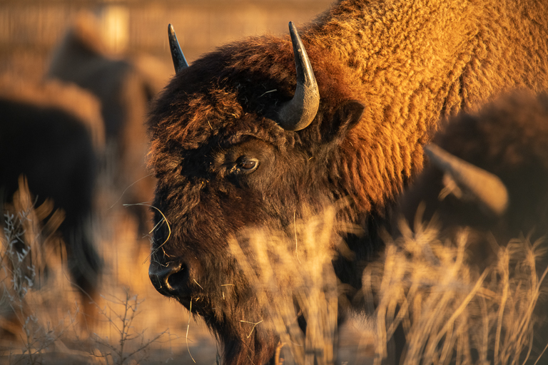 The Wolakota Buffalo Range project aims to grow the Rosebud herd to 1,500 animals over the next five years. Image © Clay Bolt/WWF.