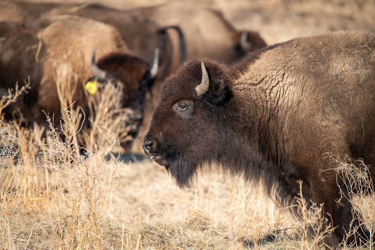 The U.S. National Park Service provided the bison to the Rosebud reservation as part of its Bison Conservation Initiative, meant to create larger herds and increase the species' genetic diversity. Image © Clay Bolt/WWF.