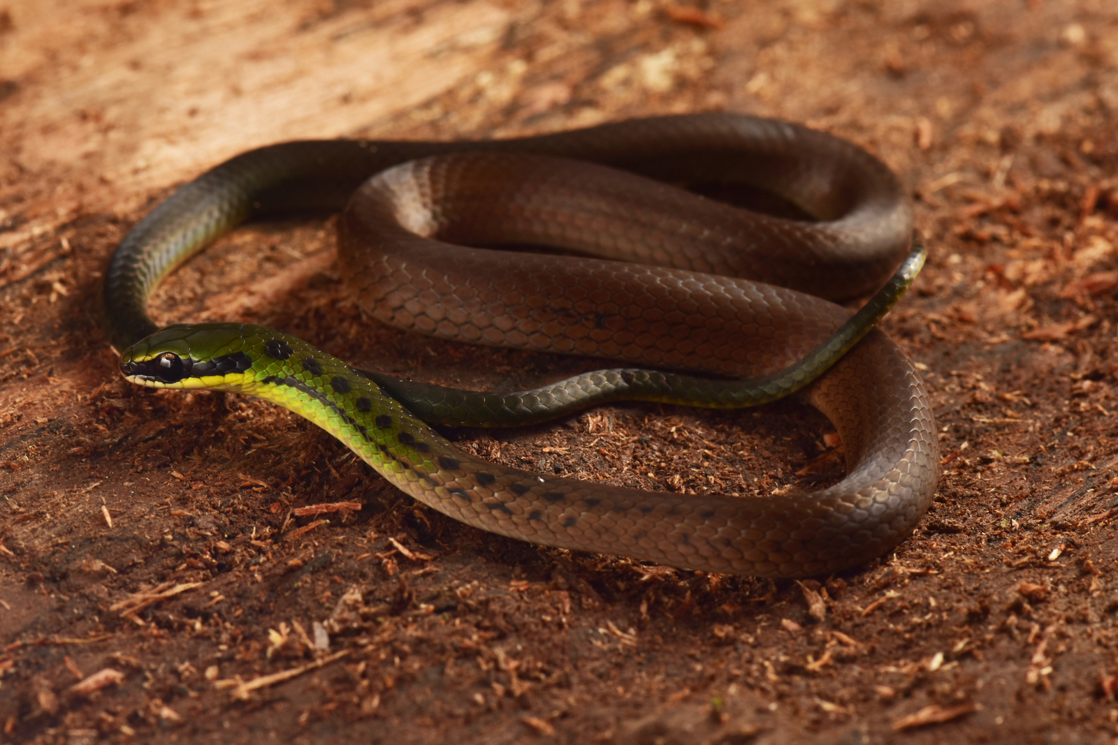 "The Bolivian flag snake (Eutrachelophis sp. nov.) is active primarily during the day and was found ""in the thick undergrowth of stunted elfin forest along the crest of the mountain at the highest elevation surveyed."" Image © Trond Larsen."