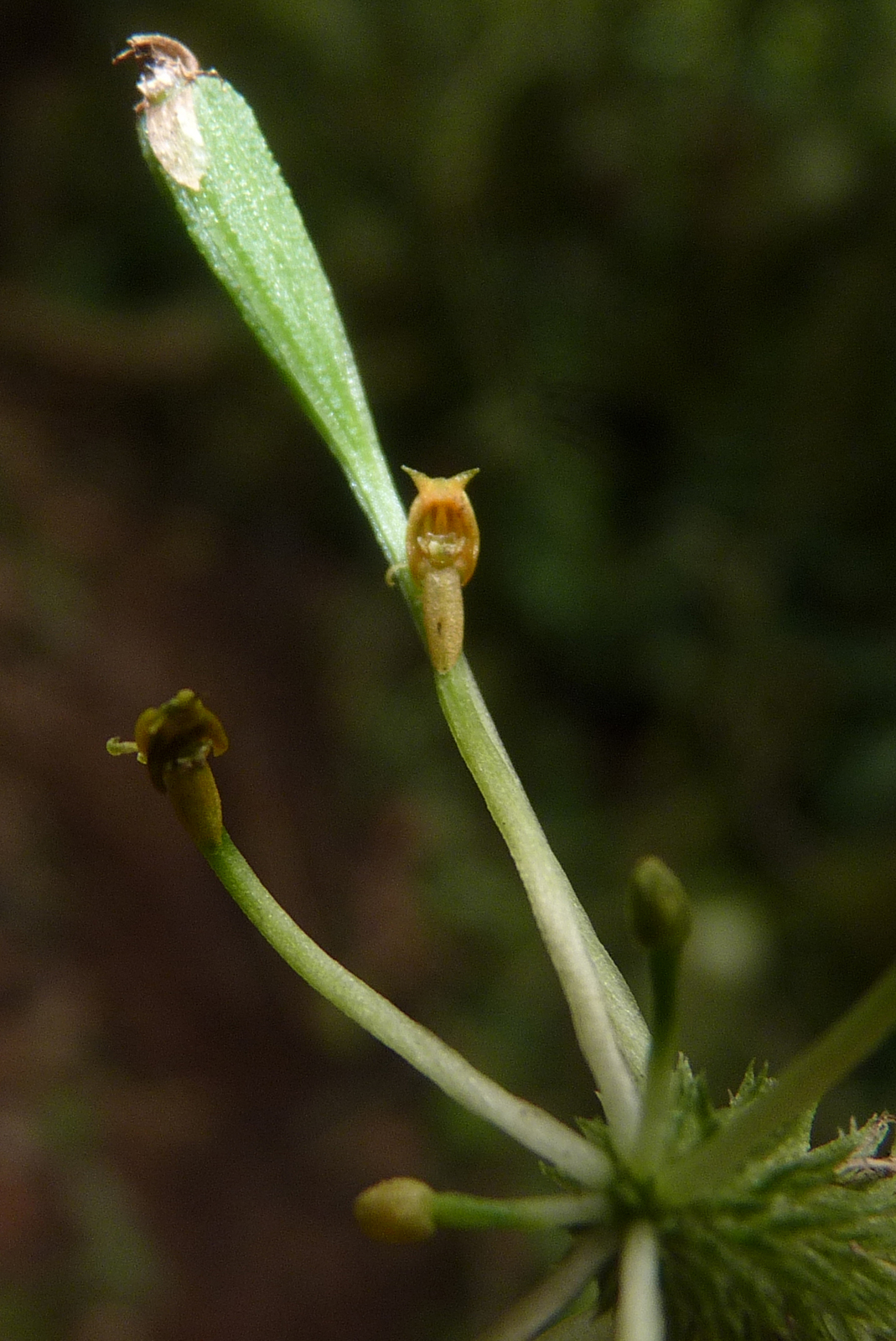 A new species of Adder's mouth orchid (Malaxis sp. nov.) has flowers that mimic an insect. Image © Trond Larsen.