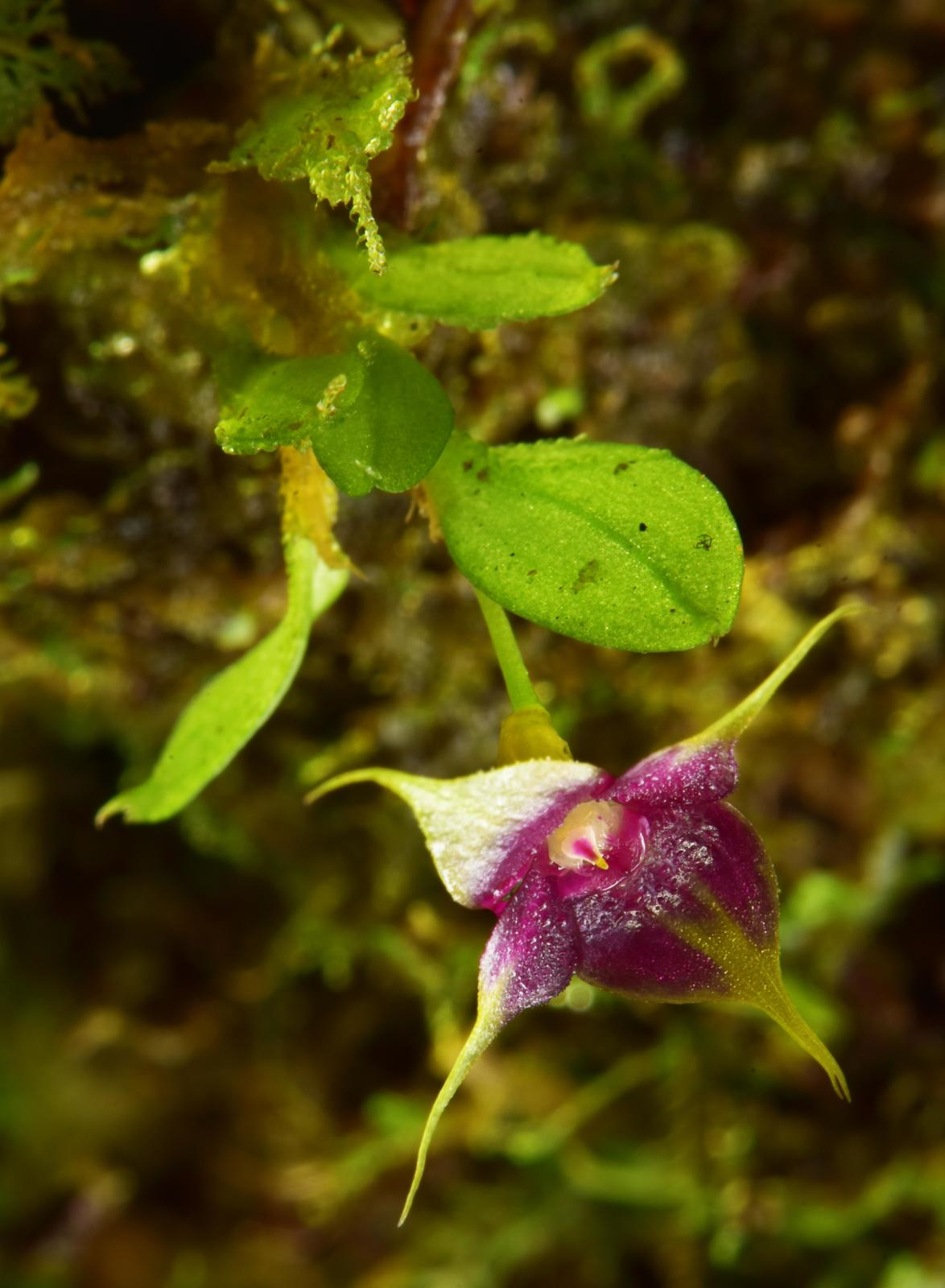 A new species of cup orchid (Brachionidium sp. nov.) with distinctive purple and yellow flowers. Image © Trond Larsen.
