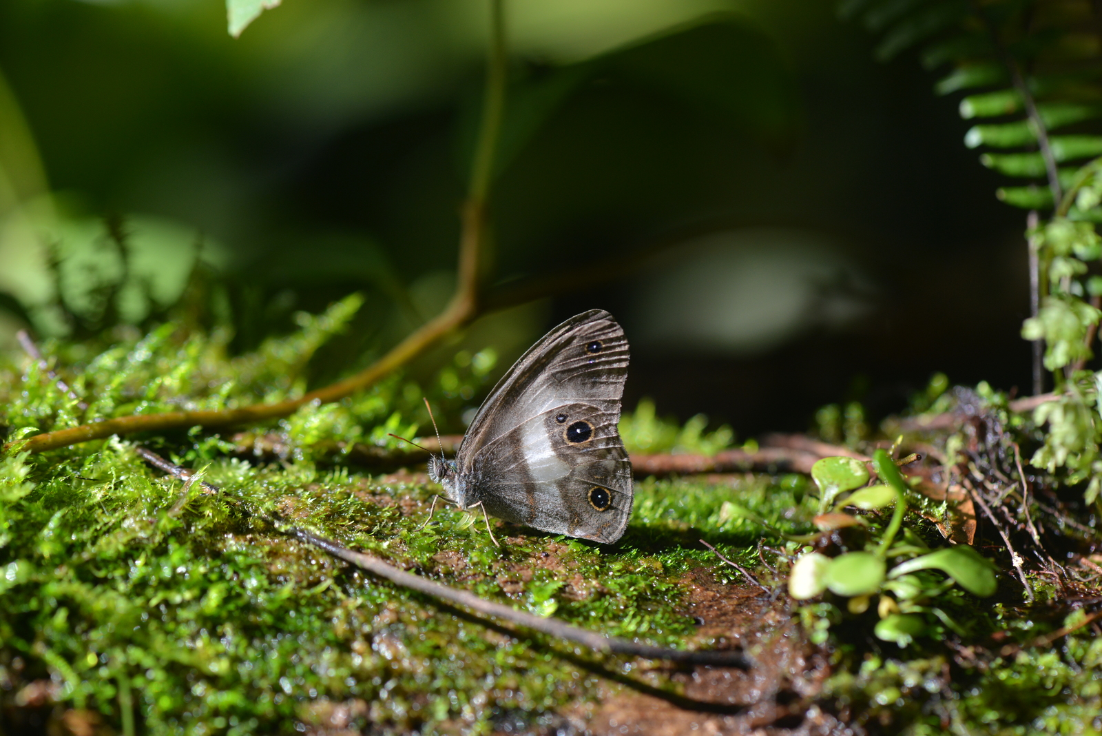 This satyr butterfly (Pseudeuptychia sp. nov.) lives high in the canopy and comes to the understory to feed. Image © Fernando Guerra.