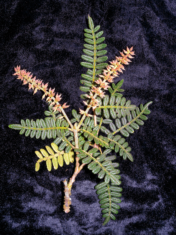 A new species of plant (Weinmannia sp. nov.) discovered during the Zongo RAP survey in Bolivia. ©Alfredo Fuentes