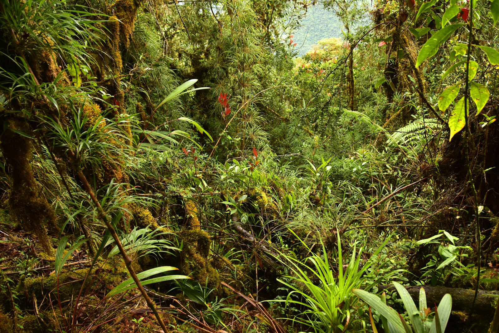 he Zongo Valley RAP expedition took place primarily in cloud and elfin forest, where moss, orchids, ferns and bromeliads drape themselves on bamboo and trees adapted to the montane climate. Image © Trond Larsen