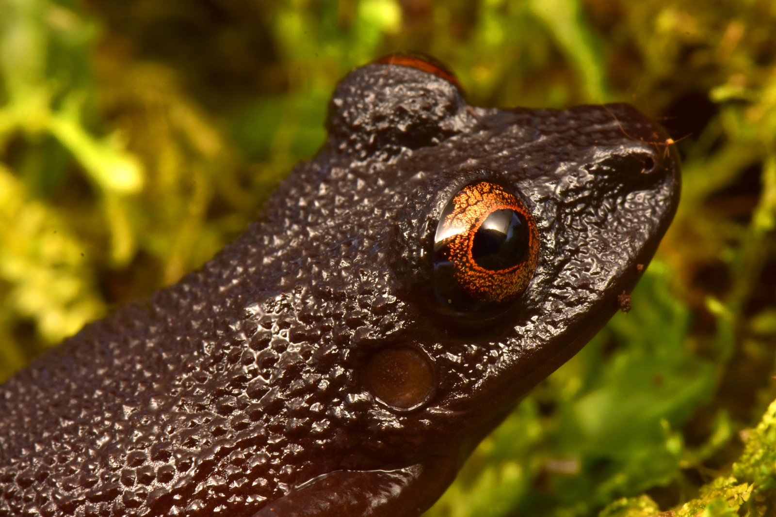 The devil-eyed frog (Oreobates zongoensis) was rediscovered on the Zongo RAP expedition in Bolivia. This species was previously known only from a single individual seen more than 20 years ago in the Zongo Valley. Image © Trond Larsen.