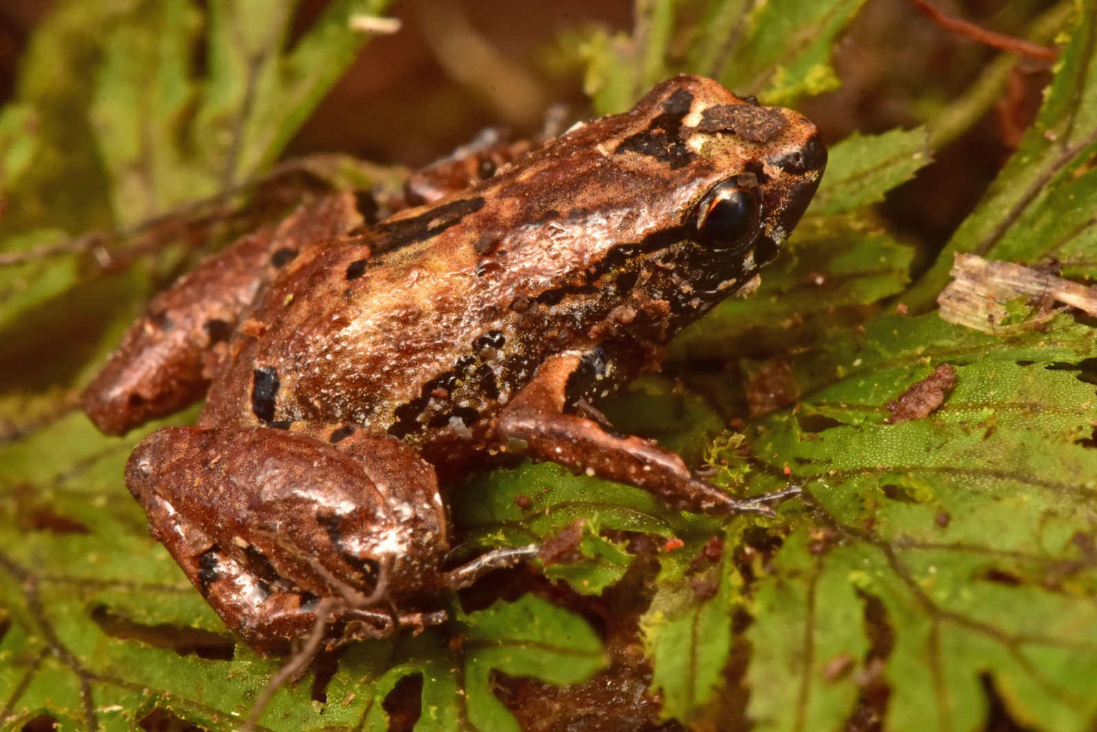 The lilliputian frog (Noblella sp. nov.) is among the tiniest in the world, measuring around 10 millimeters (0.4 inches), about the size of an aspirin tablet. The small amphibians live in tunnels beneath the moss and humus. Despite their frequent calls the researchers said they are very difficult to track. Image © Trond Larsen