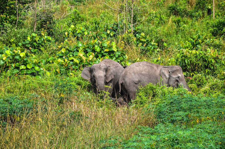 Sumatran elephants inside a cultivated area in Balai Raja. Established as a wildlife reserve in 1986, the area now has less than 200 hectares of intact forest. Image by Walhyudi/Mongabay Indonesia.