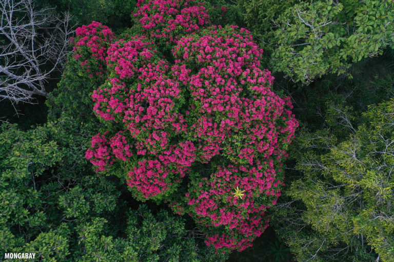 Rainforest tree with magenta flowers