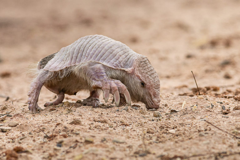 """Its claws: huge, strong and very well-developed, its front legs extremely large, muscular and strong,"" Huáscar Bustillos Cayoja told Mongabay of the observed Chacoan fairy armadillo. Photo courtesy of Ivan Gutierrez Lemaitre."