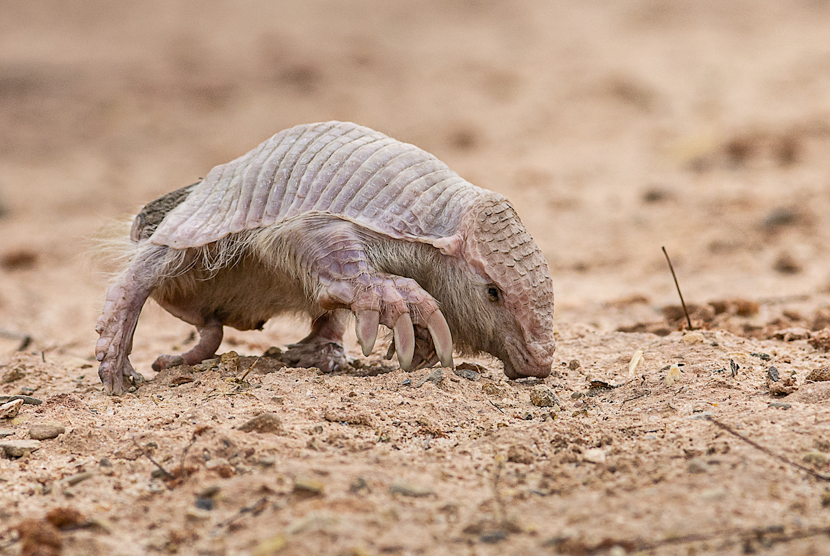 Sighting of super rare Chacoan fairy armadillo in Bolivia 'a dream come true'