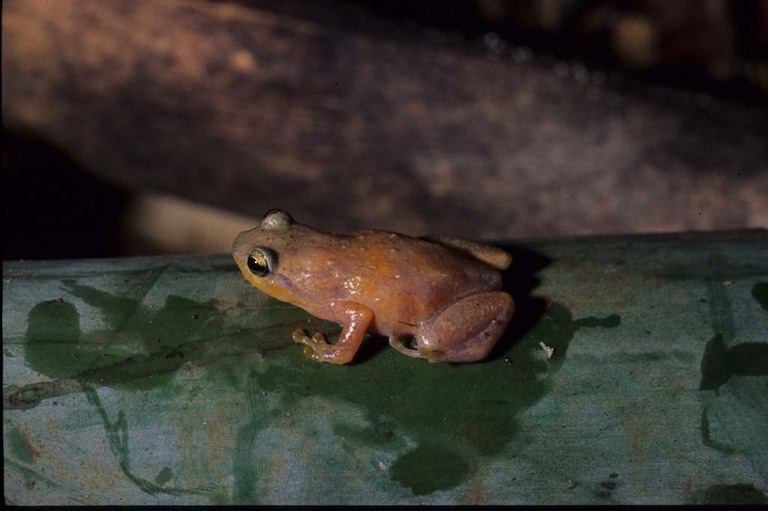 Frogs of the genus Cophyla are endemic to Madagascar and live in trees. New species are routinely discovered by scientists. Image of Cophyla berara by Franco Andreone via Wikimedia Commons (CC BY-SA 2.5).