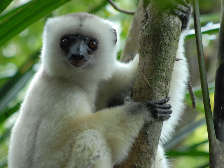 The silky sifaka (Propithecus candidus) is a kind of lemur and one of the rarest and most endangered primates species on the planet. Image by Jeff Gibbs via Wikimedia Commons (CC BY-SA 3.0).