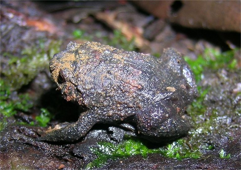 """Madagascar is home to at least 23 species of Rhombophryne or """"diamond"""" frogs. Image of Rhombophryne coudreaui by Franco Andreone via Wikimedia Commons (CC BY-SA 2.5)."""