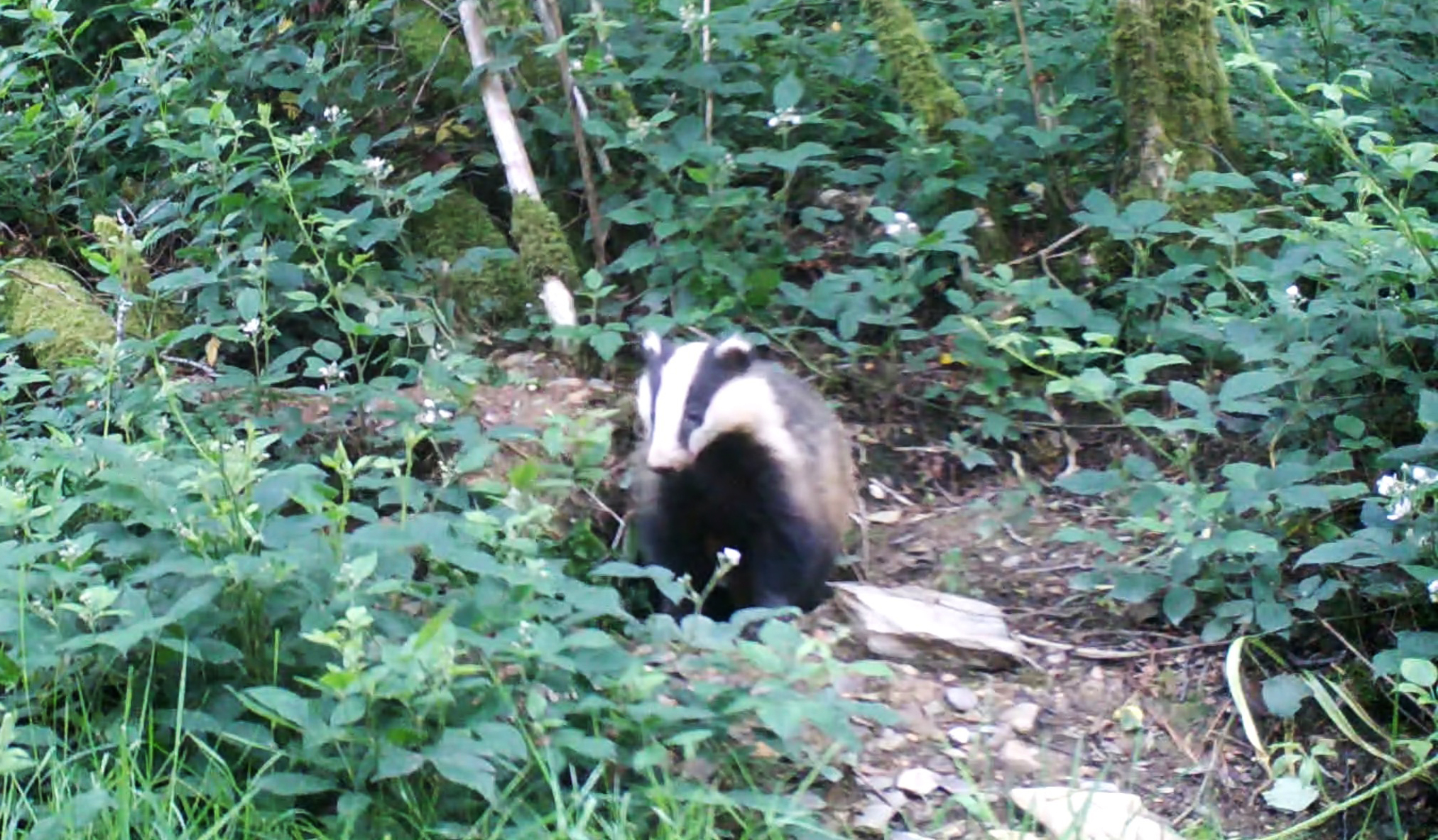 Why do Eurasian badgers live with foxes? Candid Animal Cam spots badgers