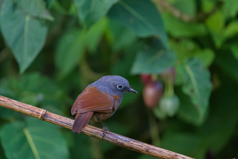 Songbird trade in Indonesia threatens wild Sunda laughingthrush