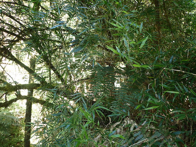 A newly discovered genus of bamboo called Sokinochloa in Tsaratanana Reserve. Image from the public domain.
