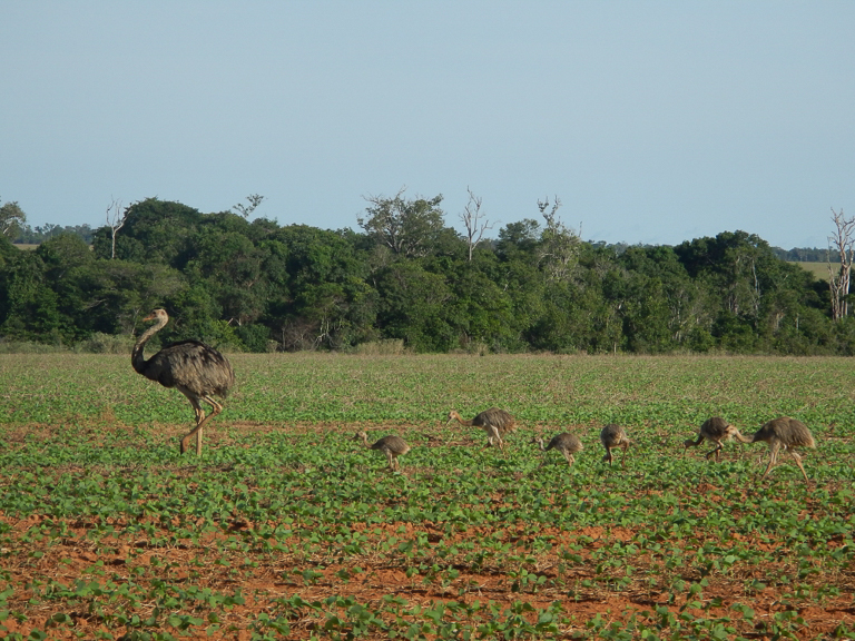 A family of rhea pick at the soy fields, a strip of woodland visible in the background. Image courtesy of Lisa Rausch/University of California, Santa Barbara.