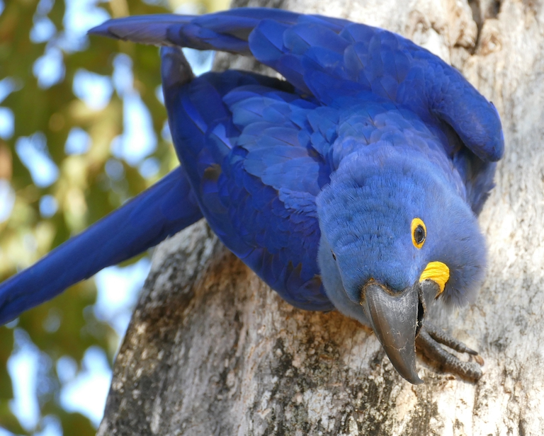 Hyacinth macaws (Anodorhynchus hyacinthinus) are the largest flying parrots in the world. They're listed as Vulnerable by the IUCN and exist predominantly in only three isolated populations in South America - the largest of which is the Pantanal. Image by Bernard Dupont via Wikimedia Commons (CC BY-SA 2.0).