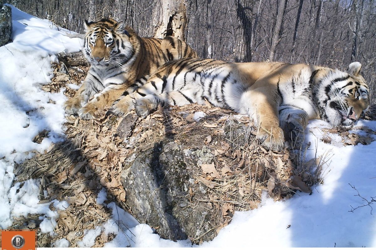Samples collected from Amur tigers including Boris and Svetlaya enabled researchers to assess the populations exposure to canine distemper virus. Image courtesy of WCS-Russia.