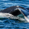 A humpback whale off the coast of the northeastern U.S. Image by John C. Cannon/Mongabay.