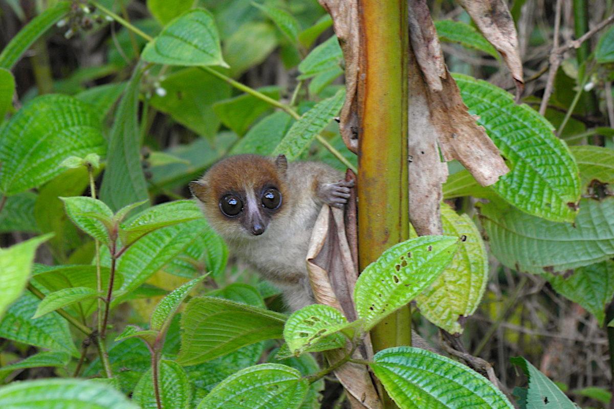 IMAGE: A Jonah's mouse lemur (M. Jonahi). Image by Dominik Schüßler