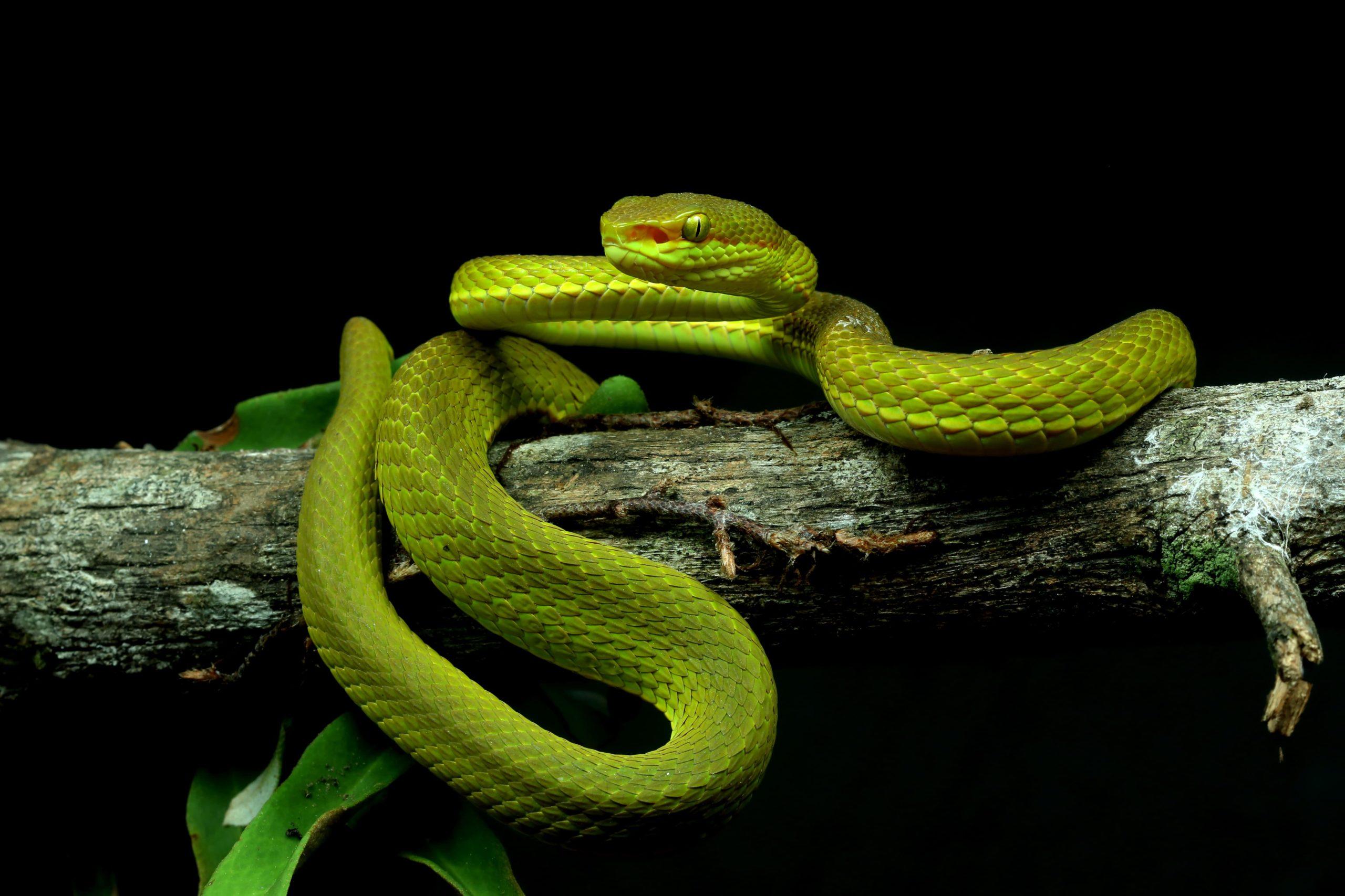 Salazar's pit viper (Trimeresurus salazar). Photo courtesy of Zeeshan A. Mirza