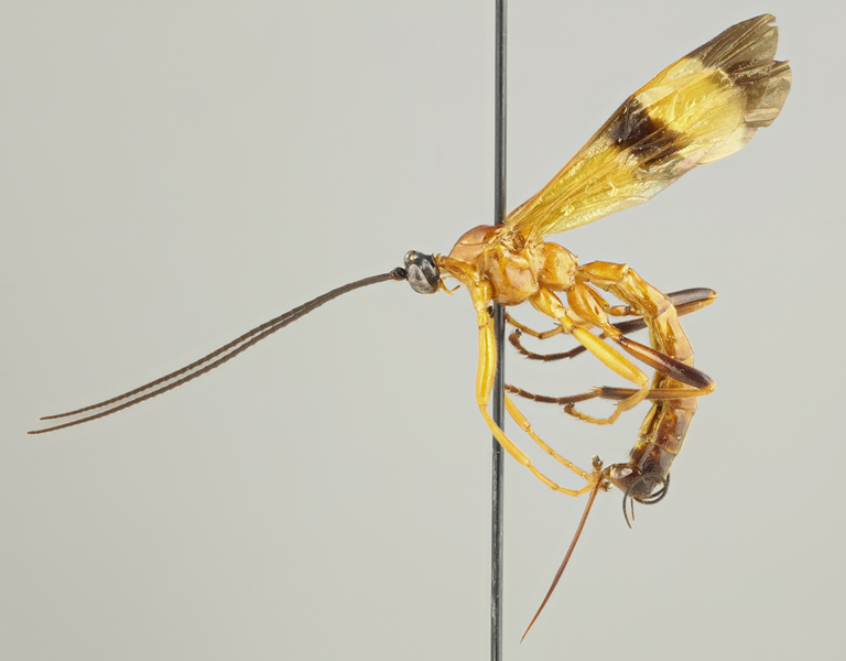 The tropical parasitoid Acrotaphus wasps manipulate the behavior of their host spiders in a complex way. The species of the genus are large and colorful. Image by Kari Kaunisto.